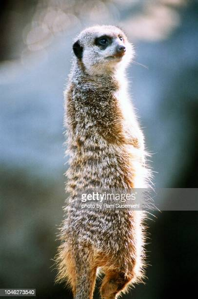 close-up of a standing meerkat - ロサンゼルス動物園 ストックフォトと画像