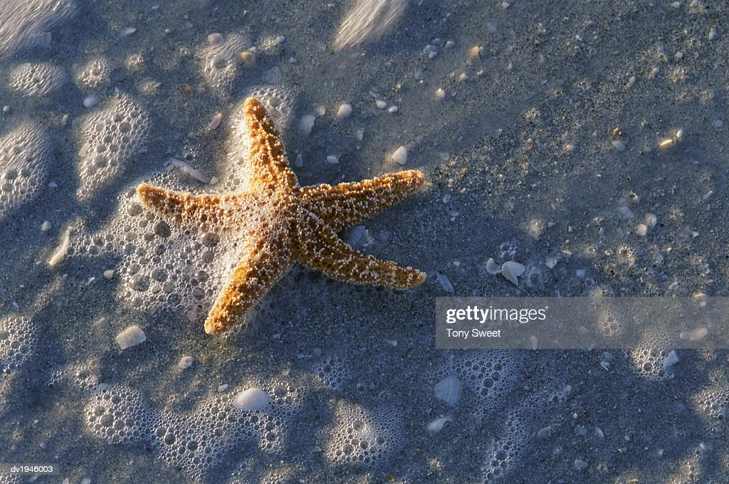 Close-up of a Starfish at the Water's Edge : Stock Photo