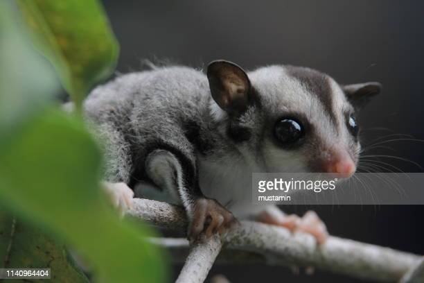 close-up of a sugar glider joey, indonesia - sugar glider stock photos and pictures