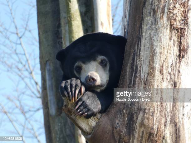 close-up of a sun bear up a tree - chester zoo stock pictures, royalty-free photos & images