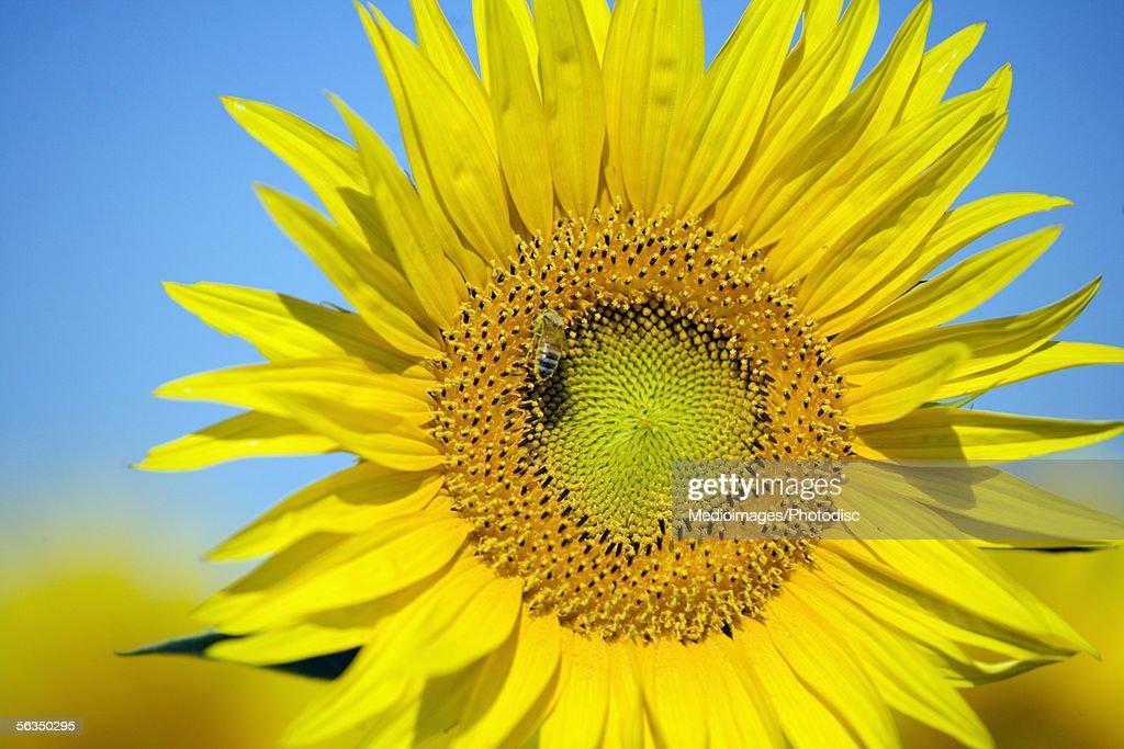 Close-up of a sunflower, California, USA, (Helianthus petiolaris) : Stock Photo