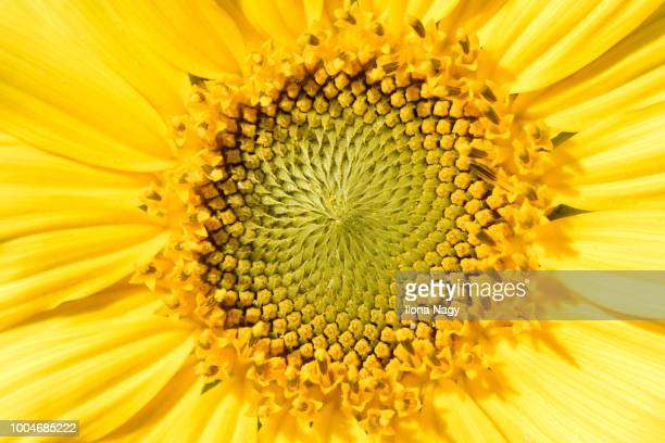 close-up of a sunflower - stamen stock pictures, royalty-free photos & images