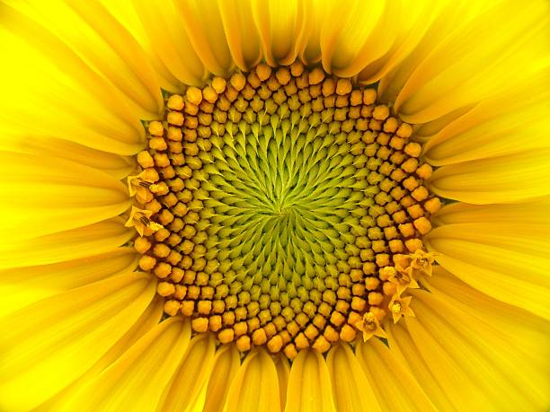 Closeup of a sunflower