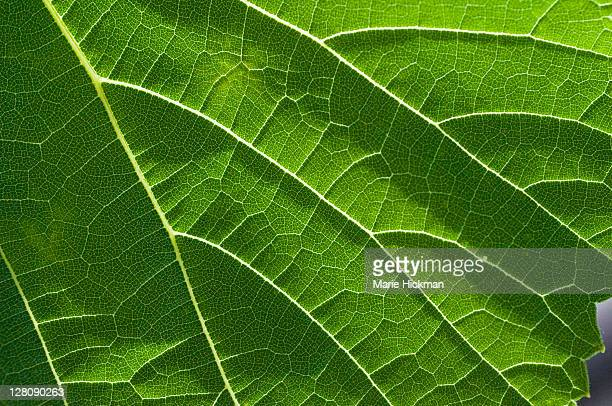 close-up of a sunlit grape leaf - dolmades stock pictures, royalty-free photos & images