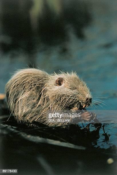 Closeup of a Swamp beaver in water