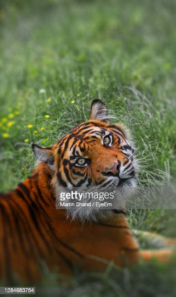 close-up of a tiger - malton stock pictures, royalty-free photos & images