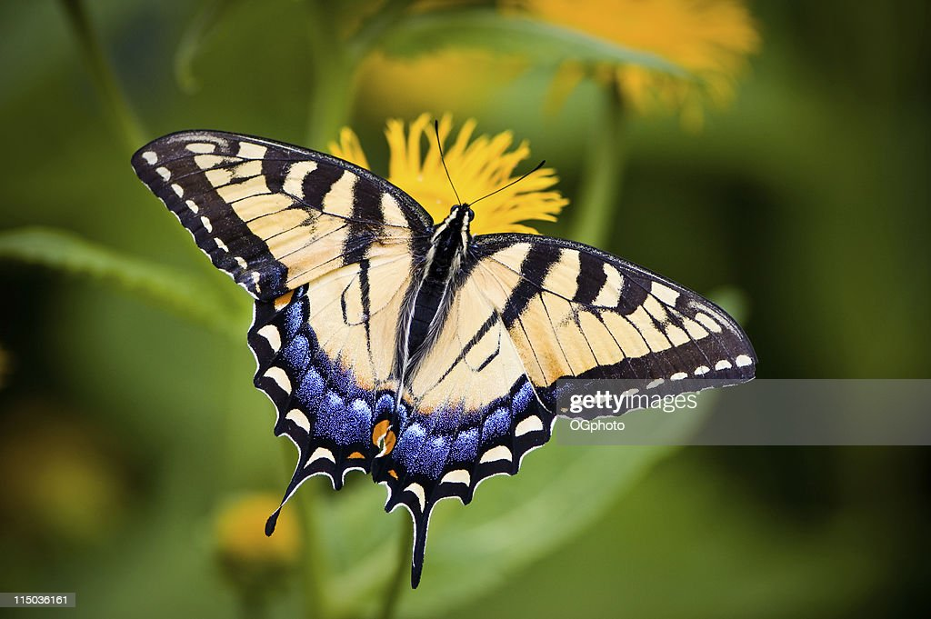 A close-up of a Tiger Swallowtail butterfly on a flower : Stock Photo