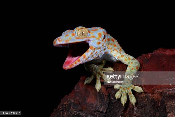 close-up of a tokay gecko, west java, indonesia - geco foto e immagini stock