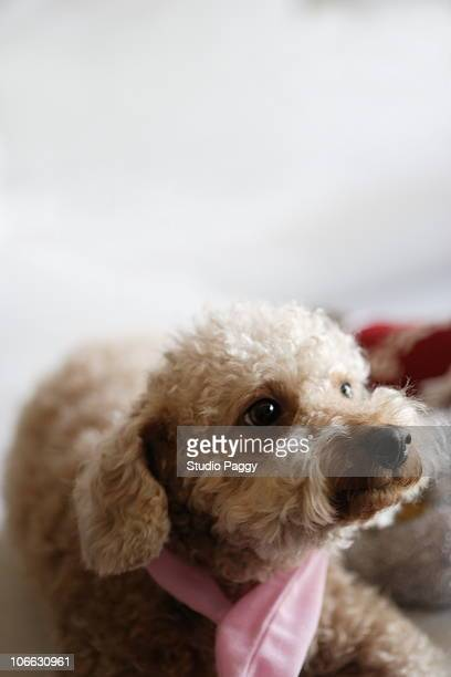 Close-up of a toy poodle