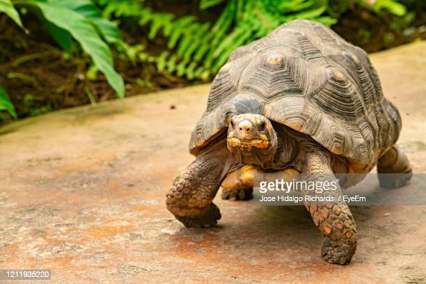 close-up of a turtle on a field - um animal - fotografias e filmes do acervo