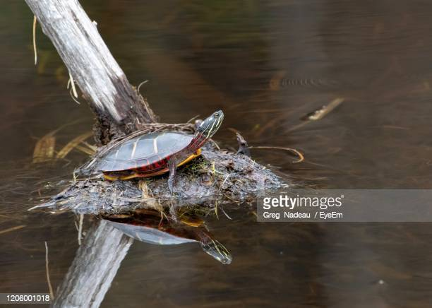 close-up of a turtle - greg nadeau stock pictures, royalty-free photos & images