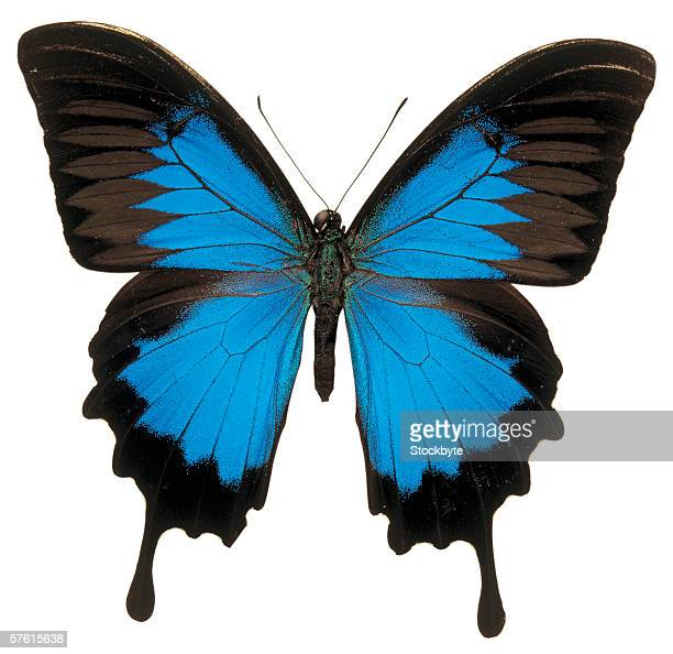 close-up of a ulysses papilio butterfly - ulysses butterfly stock pictures, royalty-free photos & images