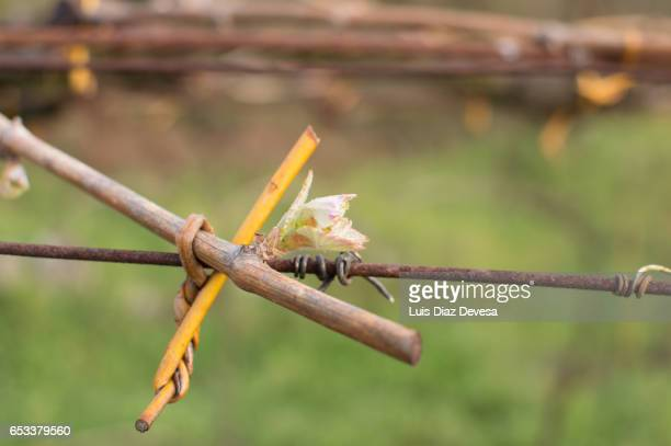Close-up of a vine in vineyard, Albariño, Cambados