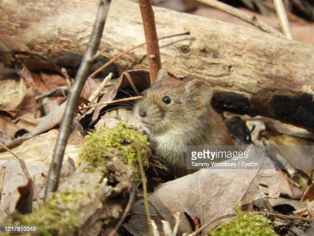 close-up of a vole in leaves - field mouse stock pictures, royalty-free photos & images