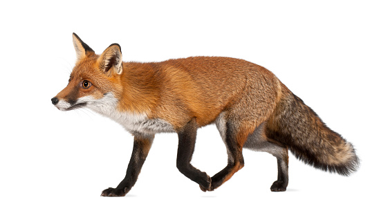 Close-up of a walking four-year old red fox 471484797