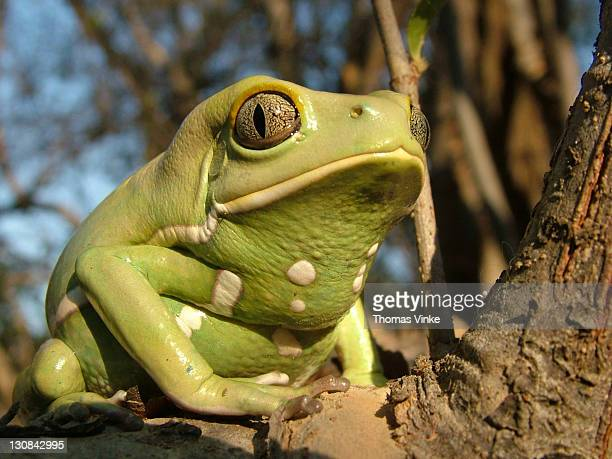 close-up of a waxy monkey tree frog (phyllomedusa sauvagii) sitting on a branch, gran chaco, paraguay - ugly monkey stock photos and pictures