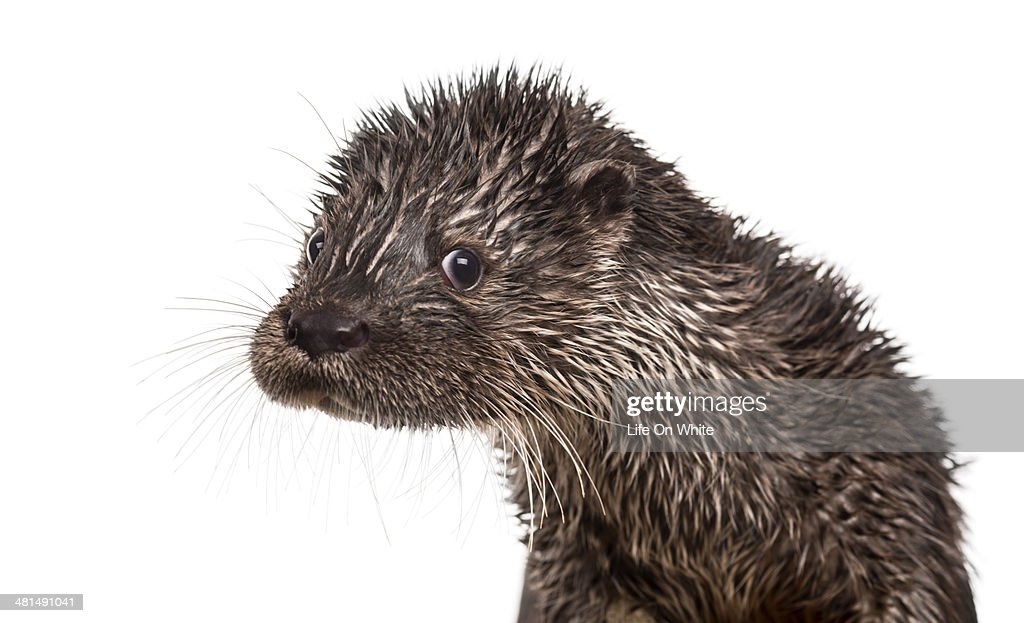 Close-up of a wet European otter looking at the camera, Lutra lutra, isolated on white
