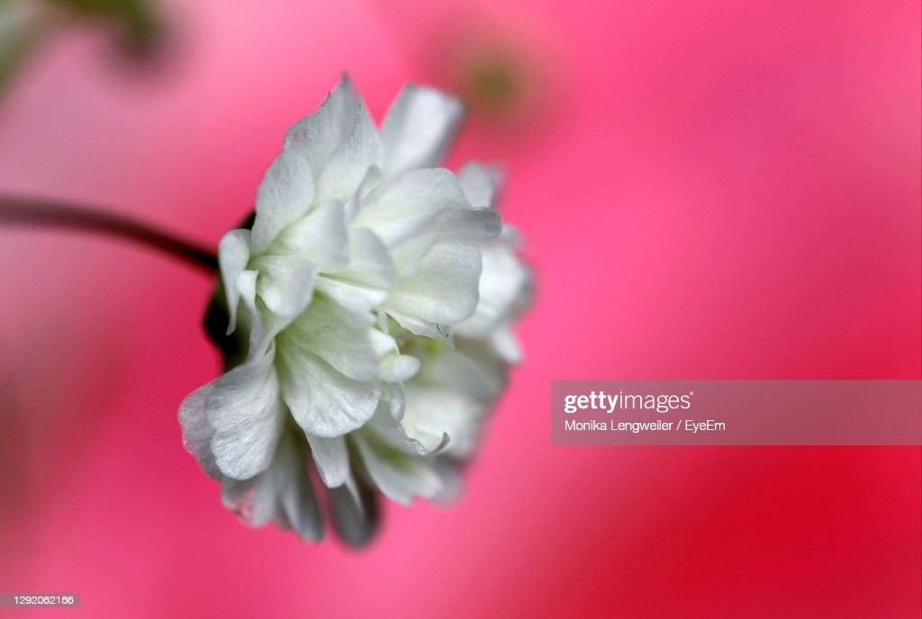 Closeup Of A White Flower In Front Of A Pink Rose High-Res ...