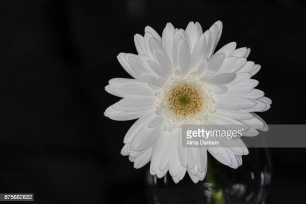close-up of a white gerbera daisy - alma danison imagens e fotografias de stock