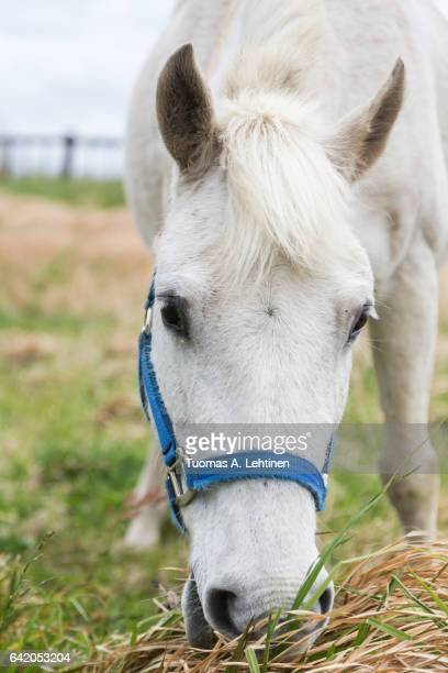 Close-up of a white horse eating grass at a meadow on the Jeju Island in South Korea. Viewed from the front.