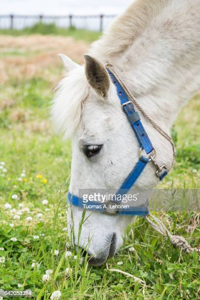 Close-up of a white horse eating grass at a meadow on the Jeju Island in South Korea.