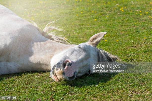 close-up of a white new forest pony asleep in the summer sunshine - lymington stock photos and pictures