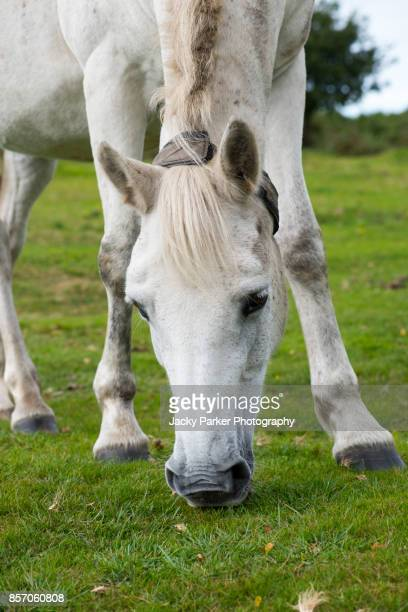 close-up of a white new forest pony grazing - lymington stock photos and pictures