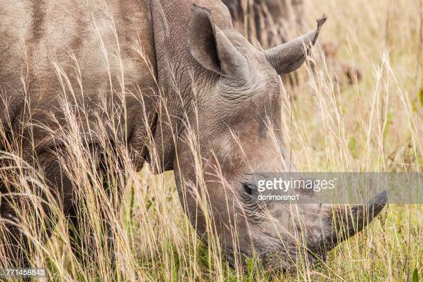 Close-up of a White rhinoceros, South Africa