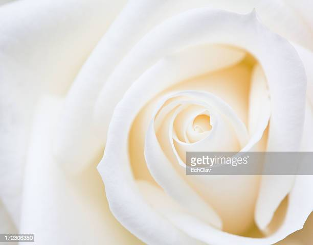 close-up of a white rose flower - innocence stock pictures, royalty-free photos & images