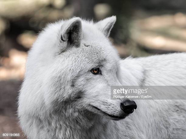 Close-Up Of A White Wolf Looking Away