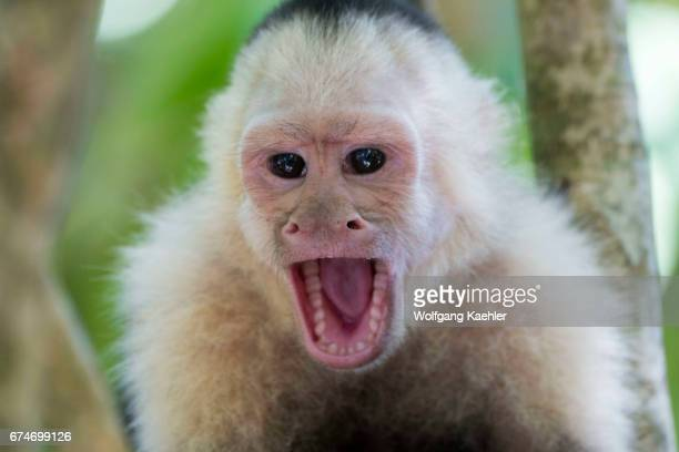 Closeup of a whitefaced capuchin monkey calling in the rainforest of the Manuel Antonio National Park located at the Pacific coast of Costa Rica