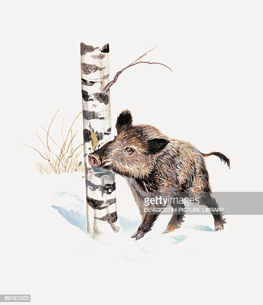 Closeup of a wild boar rubbing his neck on a tree trunk