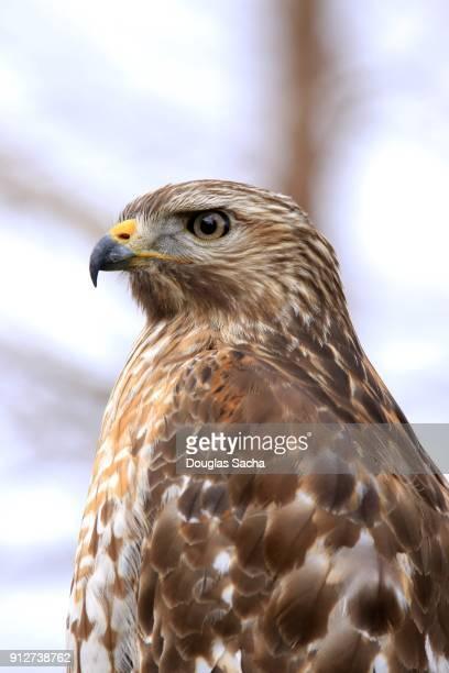 Close-up of a Wild Hawk (Accipiter striatus)