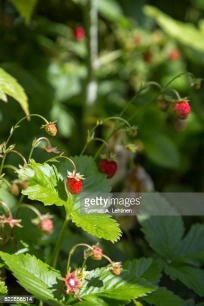 Closeup of a wild strawberry