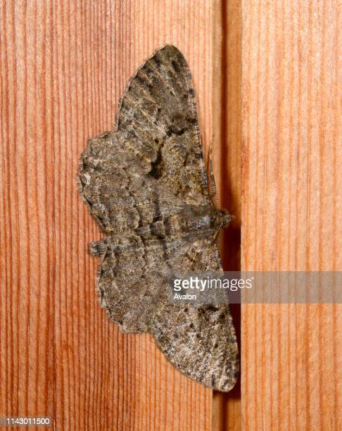 Closeup of a Willow beauty moth resting on a wooden panel in a Norfolk garden in summer UK