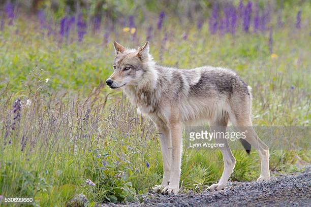 Closeup of a Wolf hunting from the side of the park road, Denali National Park and Preserve, Interior Alaska, summer