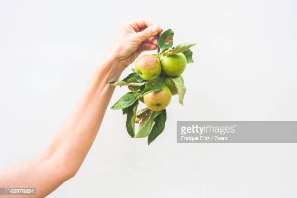 a close-up of a woman's arm and a bunch of wild apples - branch stock pictures, royalty-free photos & images