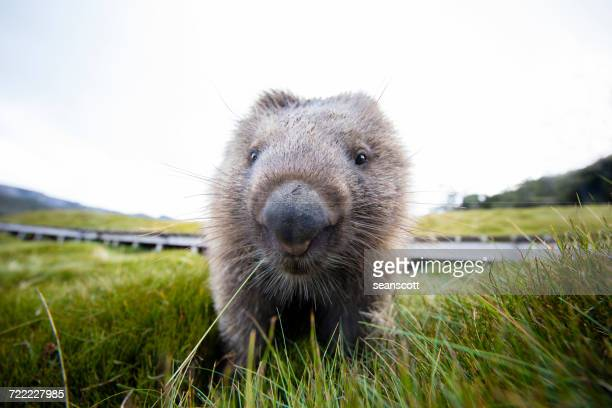 Close-up of a Wombat, Tasmania, Australia