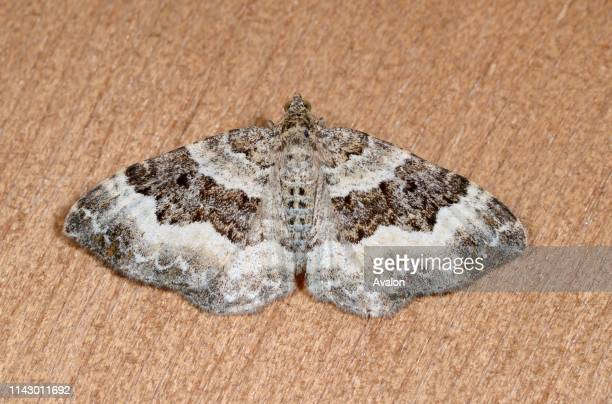 Closeup of a Wood carpet moth resting on a wooden panel in a Norfolk garden in summer UK
