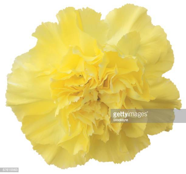 close-up of a yellow carnation