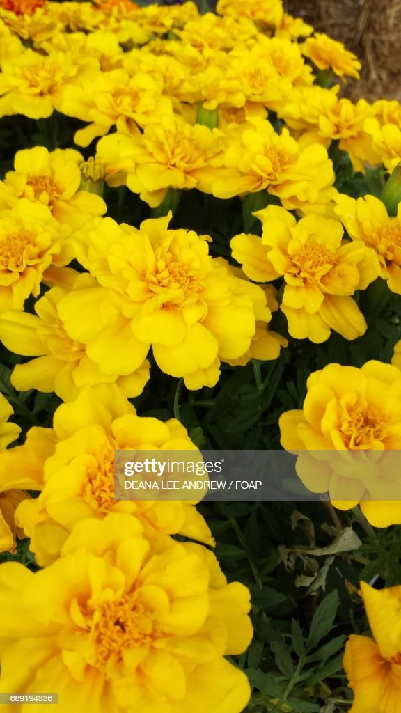 Close-up of a yellow marigolds : Stock Photo