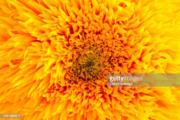 close-up of a yellow orange chrysanthemum - newbury england stock pictures, royalty-free photos & images