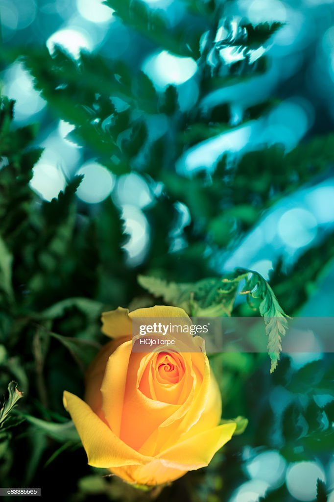 Close-up of a yellow rose flower : Stock Photo