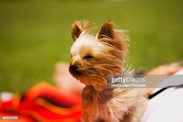 Close-up of a Yorkshire Terrier, San Francisco, California, USA