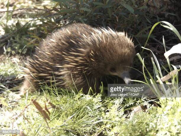 close-up of a young echidna - young animal stock pictures, royalty-free photos & images