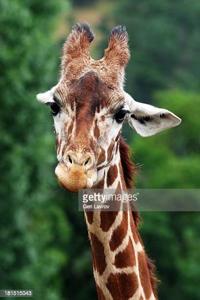 Closeup of a young giraffe