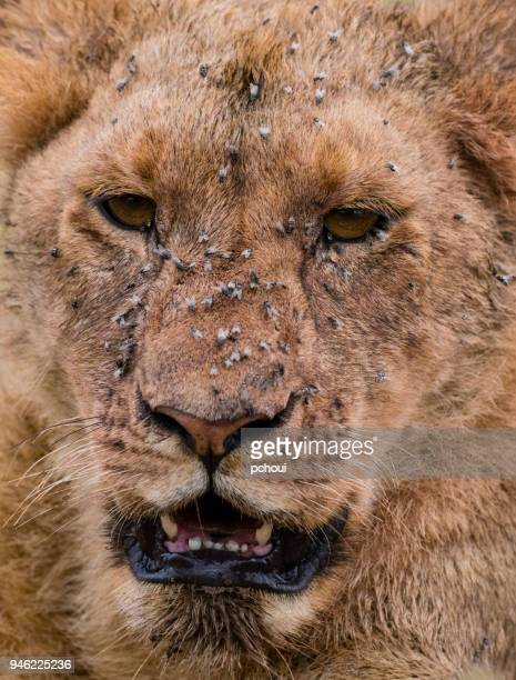 Close-up of a young lion dealing with a lot of flies, Africa