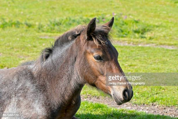 close-up of a young new forest pony - lymington stock photos and pictures