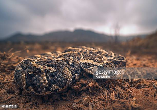 Closeup of a young puff adder (Bitis arietans) in Morocco, with mountain and stormy sky background