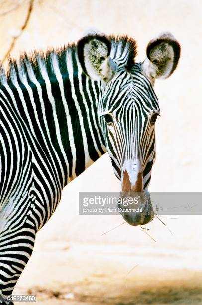 close-up of a zebra eating grass - ロサンゼルス動物園 ストックフォトと画像